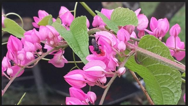 bunga air mata pengantin menjadi kegemaran kelulut di johor bahru skudai senai kulai masai pasir gudang pekan nanas gelang patah pontian